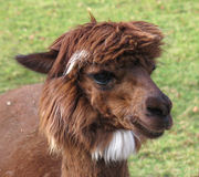 Head of cute little brown alpaca Royalty Free Stock Images