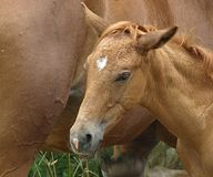 Head of a cute new born foal royalty free stock photo