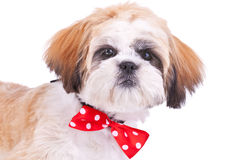 Head of a cute shih tzu puppy Stock Photos