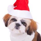 Head of a cute shih tzu santa Stock Photos