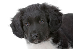 Head of a  cute Stabyhoun puppy Stock Images