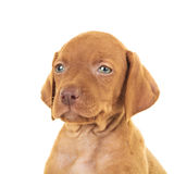 Head of a cute viszla puppy dog. Isolated on white background Stock Images
