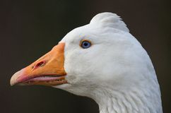 Head of Czech domestic goose Stock Photos
