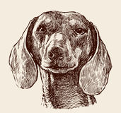 Head of dachshund Stock Photography