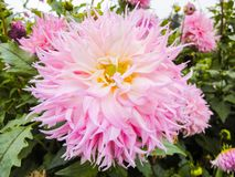 A head of dahlia in the garden in summer sunny day stock photo
