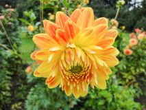A head of dahlia in the garden in summer sunny day stock images