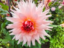 A head of dahlia in the garden in summer sunny day royalty free stock photography