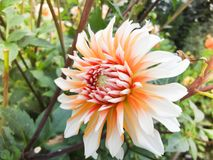 A head of dahlia in the garden in summer sunny day royalty free stock photo