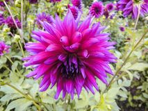 A head of dahlia in the garden in summer sunny day royalty free stock photos