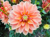 A head of dahlia in the garden in summer sunny day royalty free stock images