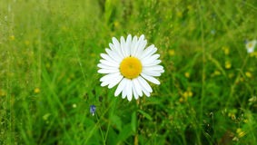 The head of the Daisy flower in the center of the photo on the background of green lawn Royalty Free Stock Image