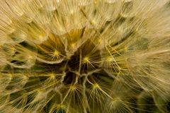 The head of the dandelion