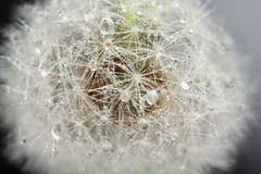 Head of dandelion, macro Royalty Free Stock Image