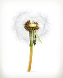 Head of dandelion, summer flower Royalty Free Stock Photo