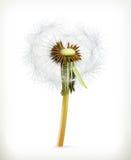 Head of dandelion, summer flower Royalty Free Stock Photo