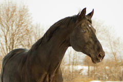 Head of the dark brown horse Stock Image