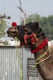 Head of decorated Indian camel Stock Image
