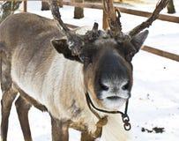 Head of deer Royalty Free Stock Photo