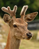 head of a deer in the field Royalty Free Stock Photos