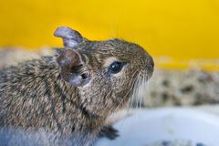 Head degu Royalty Free Stock Photos