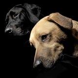 Head den bruna och svarta hunden för den blandade aveln med magiska ögon skottet i bla Arkivfoto