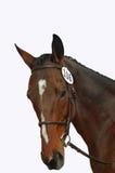 head den isolerade hästen royaltyfri bild
