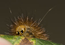 Head detail of a big orange caterpillar Stock Photography