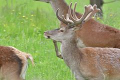 Head detail Deer buck with growing antler grazing the grass. Stag deer with growing antler to lie down on the grass stock photos