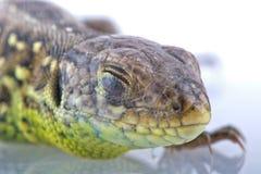 Head detail of lizard Lacerta agilis. Head detail with closed eye of lizard Lacerta agilis Stock Photography