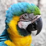 Blue-and-gold macaw head close-up royalty free stock image
