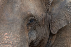 Head detail of a Sri Lankan elephant Royalty Free Stock Images