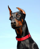Head of  Doberman Royalty Free Stock Photos