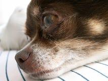 Head of dog. Head of my sweet chihuahua becky Royalty Free Stock Photos