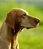 Head of dog Stock Photography