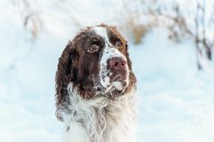 The head of dog is the English Springer Spaniel, in snow on the winter nature. The head of the dog is the English Springer Spaniel, in snow on the winter nature stock image