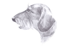 The head of the dog - haired dachshund drawing pencil Royalty Free Stock Photo