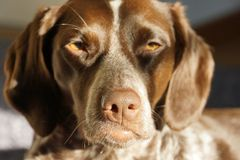 Head of a dog in the sun. Head of a brown dog in the sun Stock Photography