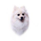 Head dog, white pomeranian puppy Royalty Free Stock Photography