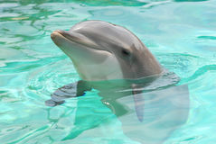 Head of dolphin. Closeup on head of dolphin in blue water Royalty Free Stock Photo