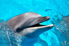 Head of the dolphin blue water Royalty Free Stock Photos