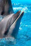 Head of the dolphin blue water Royalty Free Stock Photography