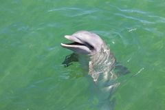 Head of dolphin in blue water in sea stock photography