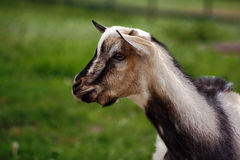 Head of domestic goat Royalty Free Stock Images