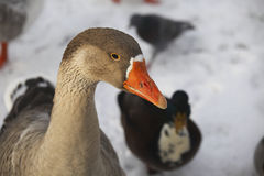 Head of domestic goose Stock Image