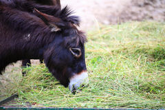 Head of a donkey animal eat food Royalty Free Stock Images