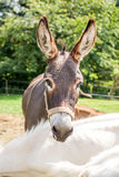 Head of donkey Stock Photos