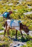 Head of donkey from Santorini Stock Photos