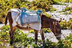 Head of donkey from Santorini Royalty Free Stock Photos