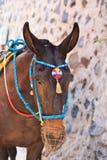 Head of donkey from Santorini Stock Photography