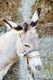 Head of donkey Stock Photography